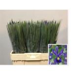 Iris Iiris Blue Magic