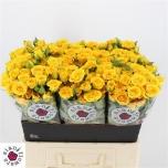 Kobarroos 60cm Yellow Babe