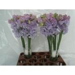 Lathyrus Lillhernes Sunshine Lavender