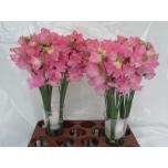 Lathyrus Lillhernes Winter Sunshine Rose