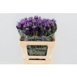 Lavandula Lavendel Stoechas 55cm