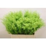 Lepidium 60cm Green Dragon Litterhein
