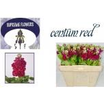 Matthiola Levkoi Centum Red