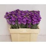 Matthiola Levkoi Figaro Lavender