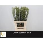 Limonium 70cm Parkjuur China Summer