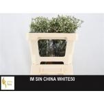 Limonium 50cm Parkjuur China White
