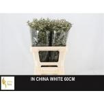 Limonium 60cm Parkjuur China White