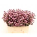 Limonium Parkjuur 60cn Safora Rosy Pink