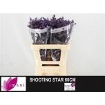 Limonium 60cm Parkjuur Shooting Star