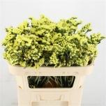 Limonium Parkjuur Yellow Wings 70cm