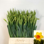 Narcissus Nartsiss Pinza