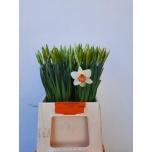 Narcissus Nartsiss Pink Charm