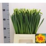 Narcissus Nartsiss Tahiti