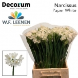 Narcissus Nartsiss Ta Ziva