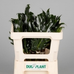Philodendron 45cm Xanadu Filodendron tk