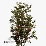 Pistacia Pistaatsia 50cm
