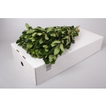 Pittosporum Nurit 40-45cm