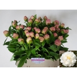 Paeonia Pojeng Gardenia 60cm