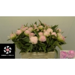 Paeonia Pojeng Pink Giant 55cm