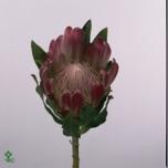 Protea 50cm Brenda