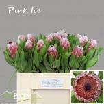 Protea 50cm Pink Ice