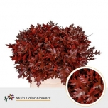 Quercus 80cm mix Tamme oksad Palustris värvitud punane
