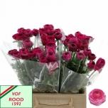 Ranunculus Tulikas Hot Pink