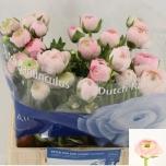 Ranunculus Tulikas roosa