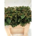 Rubus 50cm Põldmari
