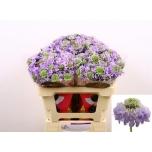 Scabiosa 50cm Lavendel Scoop