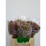 Syringa Sirel 40cm lilla