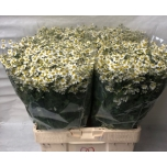 Tanacetum Neitsikummel 60cm Single Vegmo