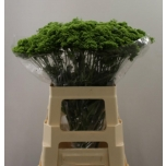 Trachelium 60cm Briba Green