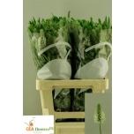 Trifolium Fros Feathers 65cm