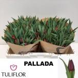 Tulp Pallada