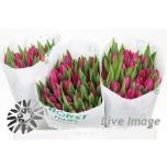 Tulp Pink Ardour