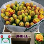 Tulp Shell