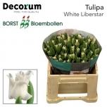 Tulp White Liberstar