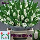 Tulp White Shark