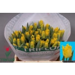Tulp Yellow Valery