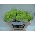 Viburnum 50cm Roseum