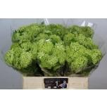 Viburnum 55cm Roseum