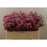 Wax Flower 50cm Adi