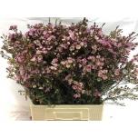 Wax Flower 70cm Adi