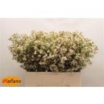Wax Flower 60cm Blondie