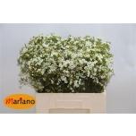 Wax Flower 60cm Crystal Pearl