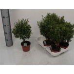Myrtus Harilik Mürt 12cm