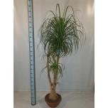 Nolina Pudelipuu 40cm recurvata