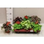 Peperomia Peperoomia 10,5cm