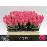 Roos 50cm Aqua